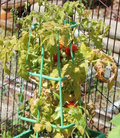 garden vegetables - tomatoes